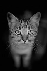 pique assiette (rondoudou87) Tags: chat cat pentax k1 nature natur noiretblanc noir bokeh blanc black blackwhite white monochrome close closer kittysuperstar rondoudou87