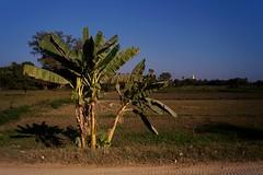 Ava - bananier (luco*) Tags: myanmar birmanie burma ava inwa bananier bananas trees arbre