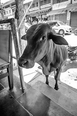 (kuuan) Tags: voigtländer heliar f4515mm manualfocus mf voigtländer15mmasphericalf4515mm nex5n india gokarna karnataka cow restaurant bw explored
