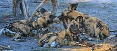 Fighting over lunch (rachelsloman) Tags: botswana kwai wilddogs wild dogs animals