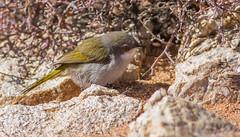 Karoo Eremomela (Eremomela gregalis) (George Wilkinson) Tags: eremomelagregalis karoo eremomela goegap nature reserve northern cape south africa canon 7d wildlife 400mm bird
