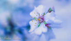 Spring is arriving (frederic.gombert) Tags: almond tree bloom blooming flower flowers trees color colors white cool spring winter macro light sun sunlight nikon d810 greatphotographers