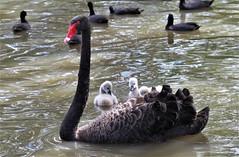 Black Swan (Robbie Guarino) Tags: swan cygnets