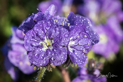 Phacelia in Morning Light (Dave Miller Photography) Tags: phacelia shellcreekrd waterdroplets wildflowers morningdew purple
