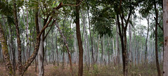 Spring in the wood (sanat_das) Tags: bishnupur westbengal forest trees tall springmorning d800 50mm
