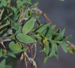 Grevillea bipinnatifida ssp bipinnatifida, Kings Park, Perth, WA, 14/12/16 (Russell Cumming) Tags: plant grevillea grevilleabipinnatifida grevilleabipinnatifidabipinnatifida proteaceae kingspark perth westernaustralia
