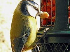 BT Hungry! (macfudge1UK) Tags: ©allrightsreserved 2017 avian bbcspringwatch bird bluetit britain britishbird britishbirds coolpix coolpixp610 england fauna gb greatbritain nature nikon nikoncoolpixp610 oxfordshire oxon p610 paruscaeruleus perch perching rspbgreenstatus uk wildlife winter naturethroughthelens