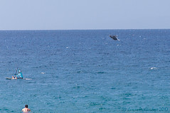 Breaching young Humpback Whale (Zeta_Ori) Tags: maui wailea grandwaileahotel maalaeabay hawaii humpback humpbackwhale breach breaching kayak grandwailea resort