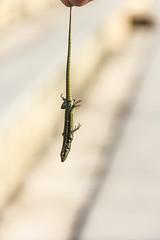 """""""Put Me Down!"""" (TOKEN2695) Tags: lagarto lizard lagartixa"""