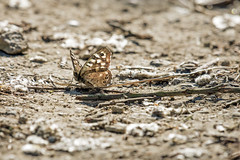 Backlit Speckled wood (AdaMoorePhotography) Tags: insect 200500mm nikon nature natural wild wildlife d7200