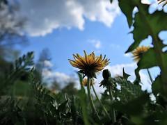 Le printemps est dans le pré (frenziM) Tags: dandelion yellow flower nature macronature naturalmente