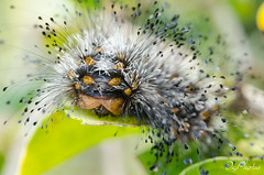 DSC_2063 (DigiPhotus) Tags: digiphotus lagarta borboleta ninfa macrodreams macro insect insectos inseto insetos insetto insekt insecte insekte insekter insekten insecten insetti insektet insectes izimbali 60mm nikon