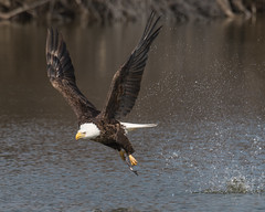 Uplifting... (ragtops2000) Tags: eagle bald mature feeder fish swoops talons flying fast quick attack liftoff successful nature wildlife raptor migrating claws detail eyes tamron150600g2 nikond500 iowa manawa lake