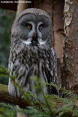 Great grey owl - NaturZoo Rheine (Mandenno photography) Tags: dierenpark dierentuin dieren animal animals owl owls nature naturzoo rheine germany duitsland greatgrey