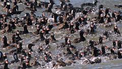 Surf Scoter - 094A8471b1c12 (Sue Coastal Observer) Tags: surfscoter susc melanittaperspicillata ptroberts washington usa waves ocean raft