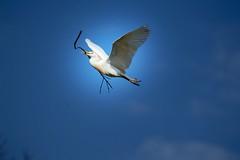 Simpliciity (mara.arantes) Tags: bird flight nature branch galho voo nest natureza naturaleza