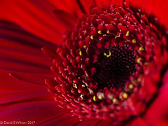 Heartland (David S Wilson) Tags: 2017 england flowers flowersplants lumixdmcgm5 flower ely adobelightroom6 davidswilson uk fens