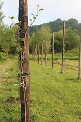 IMG_1003_1 (Pablo Alvarez Corredera) Tags: vega barros langreo huerta huerto arboles arbol kiwis kiwi postes alambrado rural mundo rustico