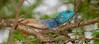 Southern Tree Agama (Acanthocercus atricollis) male (berniedup) Tags: southerntreeagama acanthocercusatricollis lizard agama taxonomy:binomial=acanthocercusatricollis lowersabie kruger