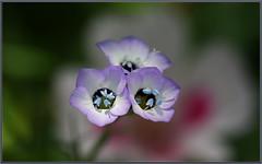 So Cal Wildflowers (tdlucas5000) Tags: gilia wildflowers california southern macro bokeh creamybokeh sigma105 closeup blue pollen