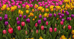 Fujifilm XT 2 Earth Day 1814 (Del Hoffman-Thx 18,590,000 Views) Tags: delhoffman flowers flowersplants fujixt2 fujifilmxt2 skagitvalley spring tulips