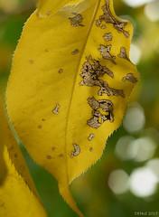 Decaying Nashi pear leaf (i-lenticularis) Tags: macroelmaritr60f28 cloudywbsetincamera decayingnashipearleaves fall autumn