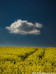 Lonesome Cloud (Richard Walker Photography) Tags: agricultural agriculture alone beautiful bluesky cloud color colorful copyspace countryside crop em1 england field flower golden idyllic landscape lane landscapephotography lonely nature oilseedrape omd peaceful rape rapeseed rural ruralscene scenery scenic solitude sunny tracks unitedkingdom