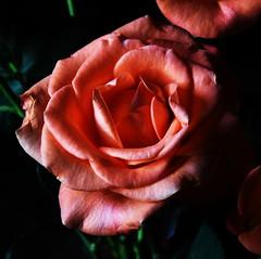 DSC_4723 (PeaTJay) Tags: nikond750 reading lowerearley berkshire macro micro closeups gardens indoors nature flora fauna plants flowers bouquet rose roses rosebuds