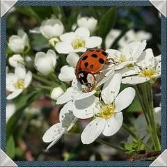 Happy Sunny Sunday! (jeannie debs) Tags: harlequinladybirdharmoniaaxyridis ladybug insect flower white sunny sunshine happy