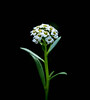 Alyssum (Scottmh) Tags: 2017 australia nikon victoria alyssum autumn close d7100 flora flower flowers macro melbourne purple up white