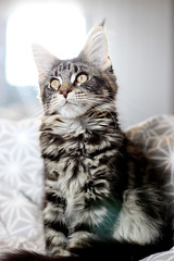 Baby Elvira. (icantdance) Tags: mainecoon elvira