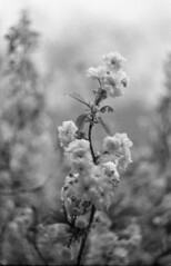 Dressed For the Occasion (9) (Mrs.Black&White) Tags: zenitem bw lomography ladygrey caffenol handprocessed 442 helios442