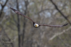 Bald Eagle Flying at My Face (Michael.A.Siebold) Tags: wild wildlife eagle baldeagle preditor flying flight birding majestic majesty regal incoming