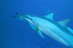 dolphin playground (BarryFackler) Tags: animal life creature organism being island fauna sealife vertebrate zoology biology marinelife 2017 nature ecology undersea aqatic scuba marinebiology dolphins cetaceans hawaiianspinnerdolphins marinemammals slongirostris delphinidae naia cetacea spinnerdolphins odontoceti mammals water stenellalongirostris leaf leafgame openwater barryfackler westhawaii saltwater ocean kona bigislanddiving sealifecamera marine tropical outdoor pacificocean hawaiicounty konadiving hawaiianislands bigisland sea ecosystem marineecology polynesia hawaiiisland underwater sandwichislands hawaii southkona bay pacific barronfackler honaunau marineecosystem seacreature dive diving diver hawaiidiving honaunaubay konacoast