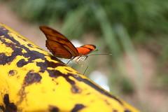 Borboleta bairro São João JM - Wir Caetano - 26 04 2017 (32) (dabliê texto imagem - Comunicação Visual e Jorn) Tags: borboleta inseto amarelo escada ferrugem