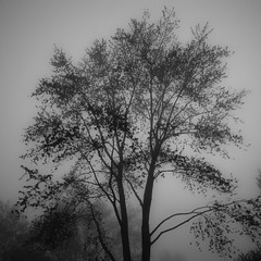 Trees In Fog 008 (noahbw) Tags: d5000 nikon blackwhite blackandwhite branches bw fog foggy forest landscape light lowlight mist misty monochrome natural noahbw quiet shadow silhouette spring square still stillness trees woods