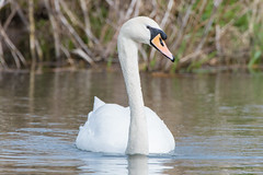 Mute swan (Shane Jones) Tags: muteswan swan bird wildlife nature nikon d500 200400vr tc14eii