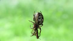 Furrow Orbweaver (treegrow) Tags: washingtondc kenilworth lifeonearth nature canonpowershotsx40hs raynoxdcr250 arthropoda arachnida araneae araneidae larinioidescornutus taxonomy:binomial=larinioidescornutus
