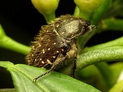 Mediterranean Spotted Chafer (treegrow) Tags: spain lifeonearth nature canonpowershotsx40hs raynoxdcr250 arthropoda insect beetle coleoptera scarabaeidae oxythyreafunesta taxonomy:binomial=oxythyreafunesta