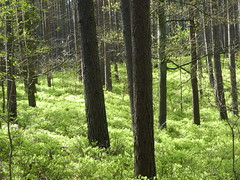 Blaubeeren weit und breit im Müritz-Nationalpark , NGIDn854063211 (naturgucker.de) Tags: ngidn854063211 naturguckerde blaubeerevacciniummyrtillus müritznationalpark cingebartholomäuskaelcke