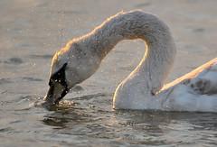 Mute Swan (MoGoutz) Tags: olor cygnus mute swan gallikos river kalochori