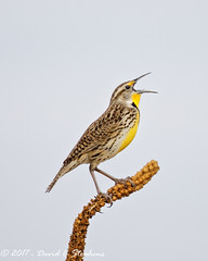 Meadowlark Sticks Out Tongue (dcstep) Tags: meadowlark singing mulleintonguetiny tongueauroracoloradounited statesusn7a4325dxocanon 5d mkivef 500mm f4l is iief 14x tciiicherry creek state parkcherry reservoirall rights reservedcopyright 2017 david c stephenshandhelddxo optics pro 1131 copyrightregistered04222017 ecocase14949772801 getty