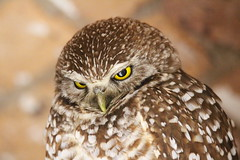 Canon2017.03.17 2689 (seahorse19911) Tags: birds brittanyanddadsvisit canon20170317 drytortugas florida floridakeys burrowingowl