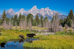 MO341 (Sam Parks Photography) Tags: alcesalcesshirasi gtnp gye grandtetonnationalpark greateryellowstoneecosystem jacksonhole nps northamerica parkservice river rockies rockymountains shirasmoose tetonrange usa unitedstatesofamerica wyoming animal baby beaverpond biggame calf calves cervid cervidae cervine cow creek cross crossing drink drinking environmental female foliage ford fording habitat herbivore herbivorous hoof hoofedmammal hooved hooves horizontalorientation juvenile lake landscape large mammal matingseason meadow nature offspring pond stream summer ungulate valley wade wading water wide wild wildlife woods young