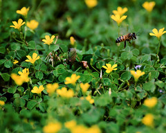 bee (Shutter-Bee Photography) Tags: bee nature flying midair insect stinger pollen pollenate pollenation