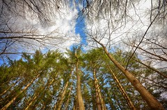 Looking Up (mswan777) Tags: forest tree pine up nature outdoor michigan bridgman cloud sky branch woods nikon d5100 sigma 1020mm tall landscape hiking trail