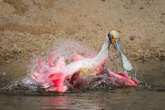 Pink Champagne (gseloff) Tags: roseatespoonbill bird bathing wildlife smithoaksrookery houstonaudubonsociety highisland texas gseloff