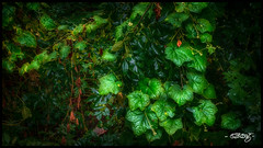 Vines (dougkuony) Tags: vines vine green leaves nature undergrowth overgrowth hdr