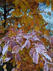 Beech (Fagus sylvatica), The Hermitage, Dunkeld (Niall Corbet) Tags: scotland perthshire dunkeld hermitage nationaltrust nts winter beech fagussylvatica leaf frost autumn