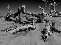 Wood and Sand (claudiov958) Tags: biancoenero blackwhite blancoynegro branches california černýabílý claudiovaldés czarnyibiały deathvalley desert dunes gnarly landscape mediumformat mediumformatdigital mesquitesanddunes ngc noiretblanc pentax645z pretoebranco rocks sanddunes schwarzundweiss snow trees черноеибелое pentaxart smcpentaxdfa64555mmf28alifsdmaw